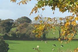 Free range organic cows